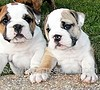 English Bulldog names